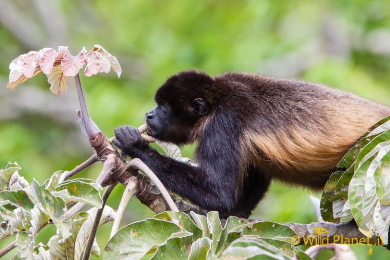 Mantled Howler Monkey (Allouata palliata)