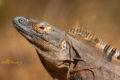 Black Ctenosaur, (Ctenosaura similis)