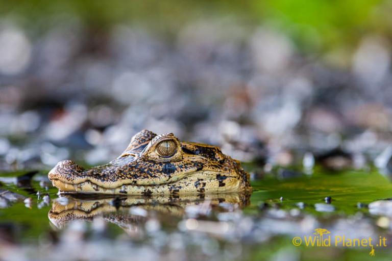 Spectacled Caiman, (Caiman crocodilus)