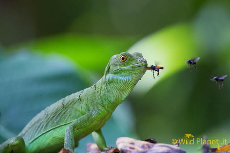 Double-crested Basilisk Lizard