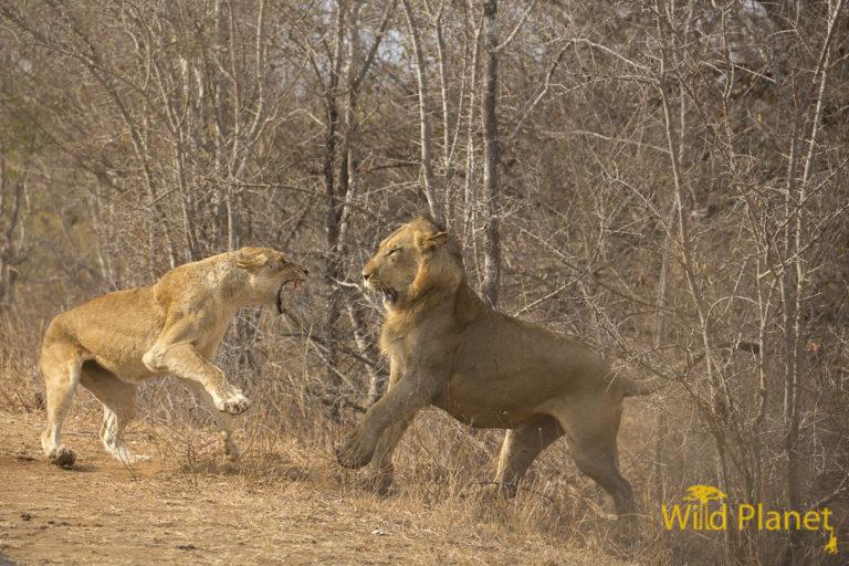 Female lion defending her cubs